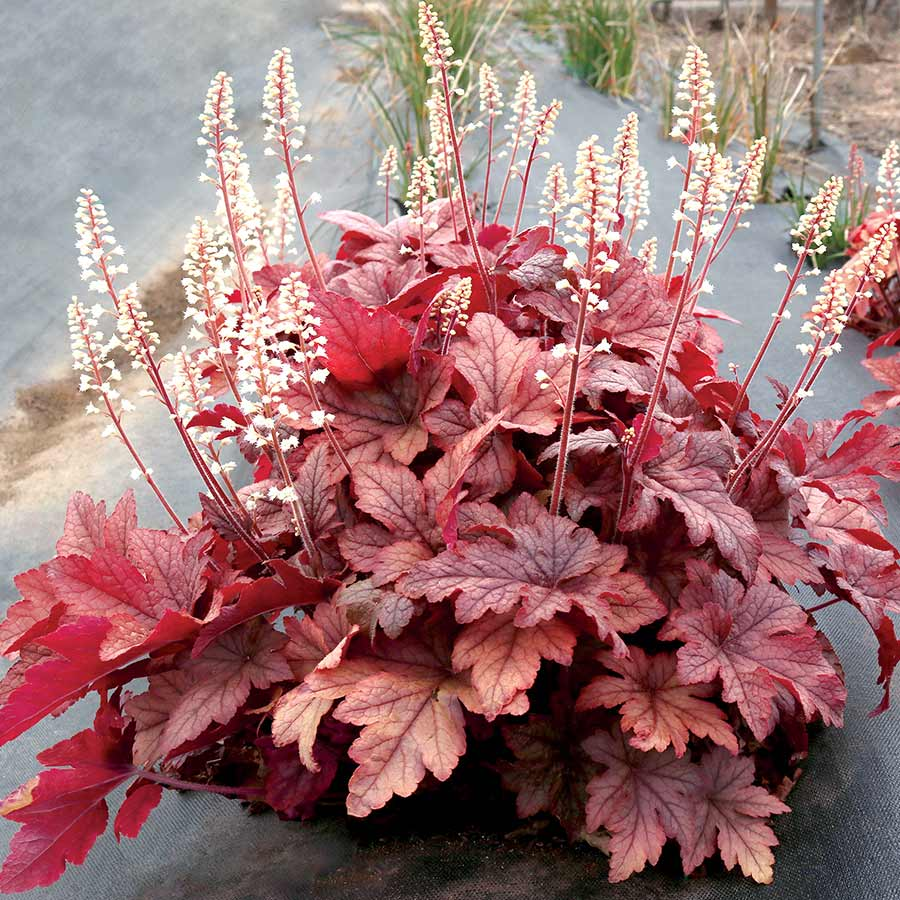 Heucherella 'Peach Tea'