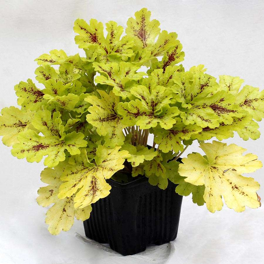 Heucherella 'Spicy Lime'