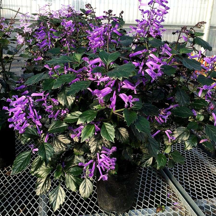 Plectranthus Velvet Diva Terra Nova Nurseries Inc