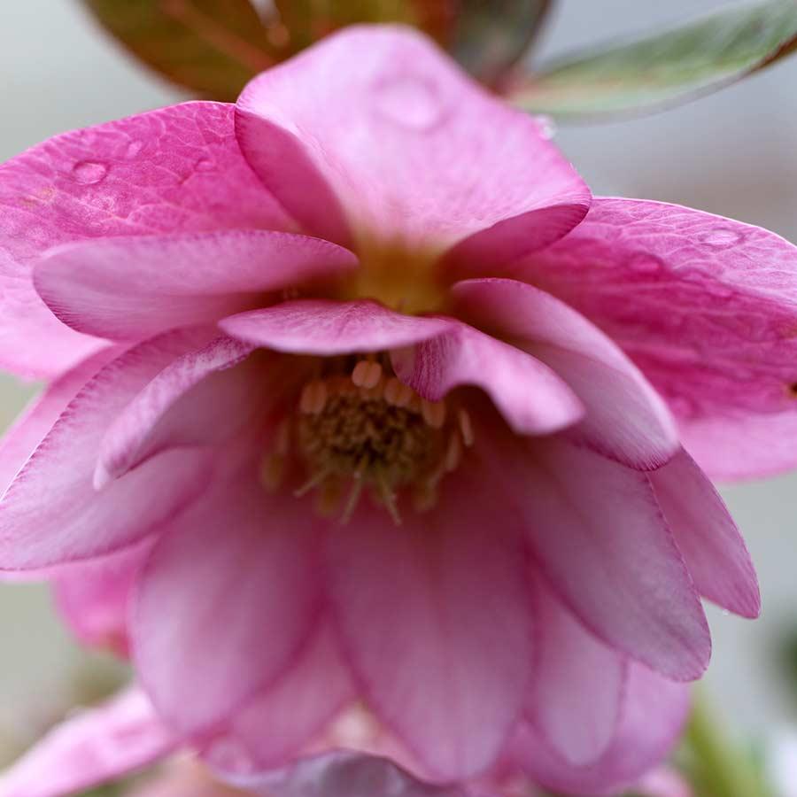 Helleborus NORTH STAR™ Pink