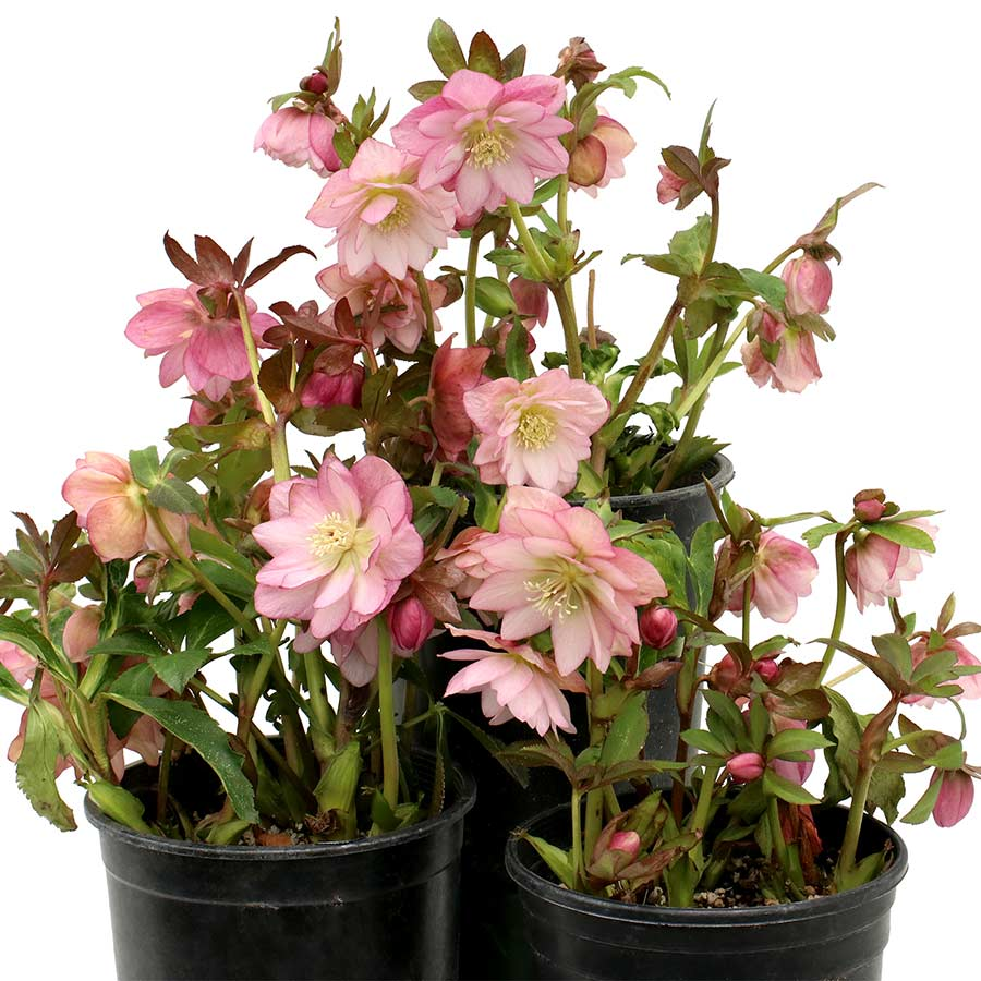 Helleborus NORTH STAR™ Pink