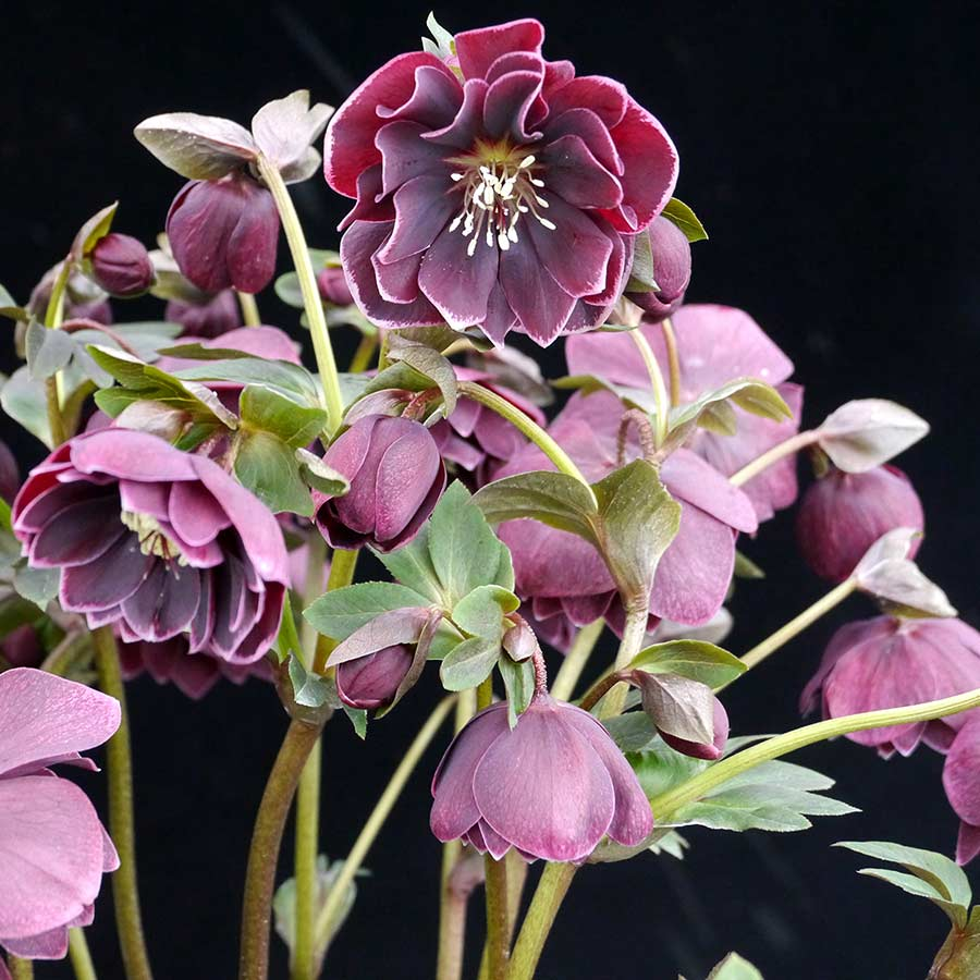 Helleborus NORTH STAR™ Plum