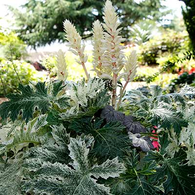 Acanthus 'Whitewater'