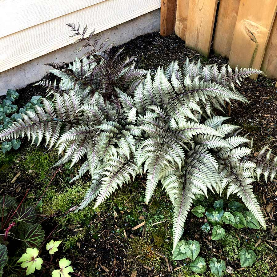 Athyrium 'Pewter Lace'