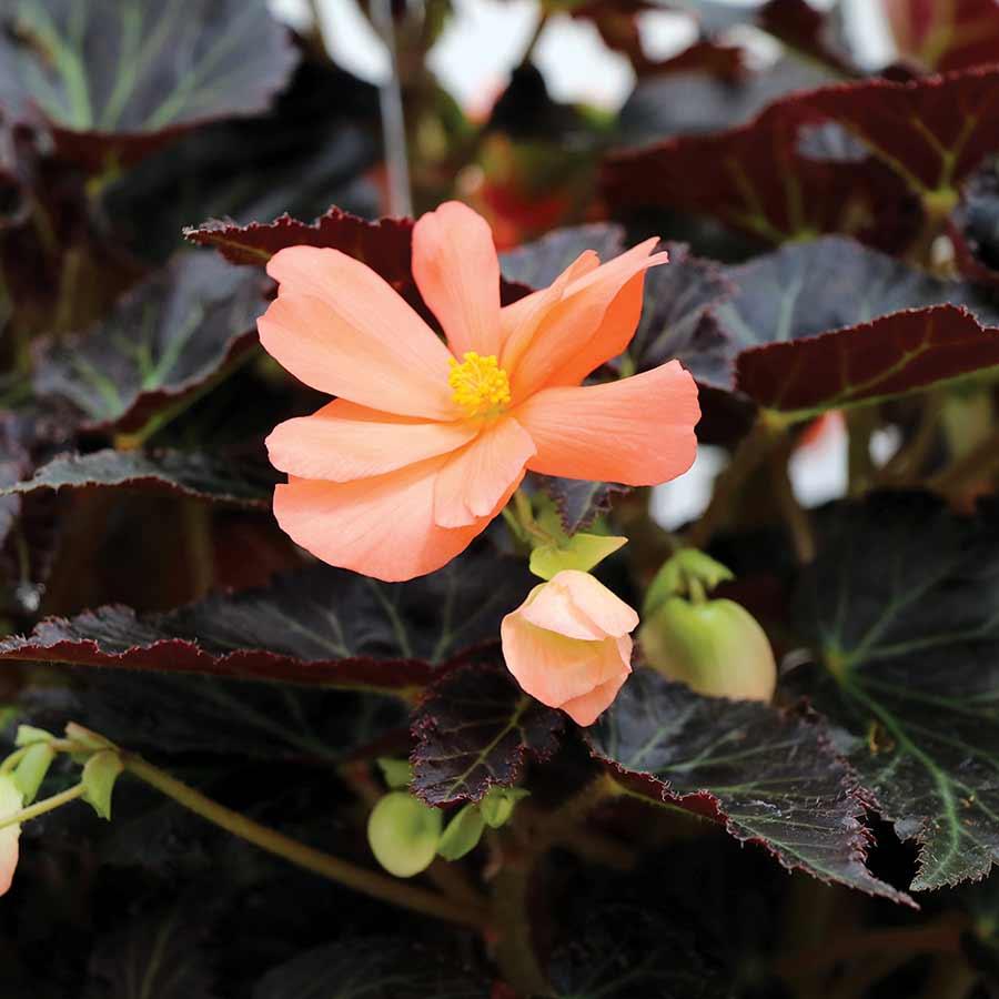 Begonia COCOA™ 'Enchanted Sunrise'