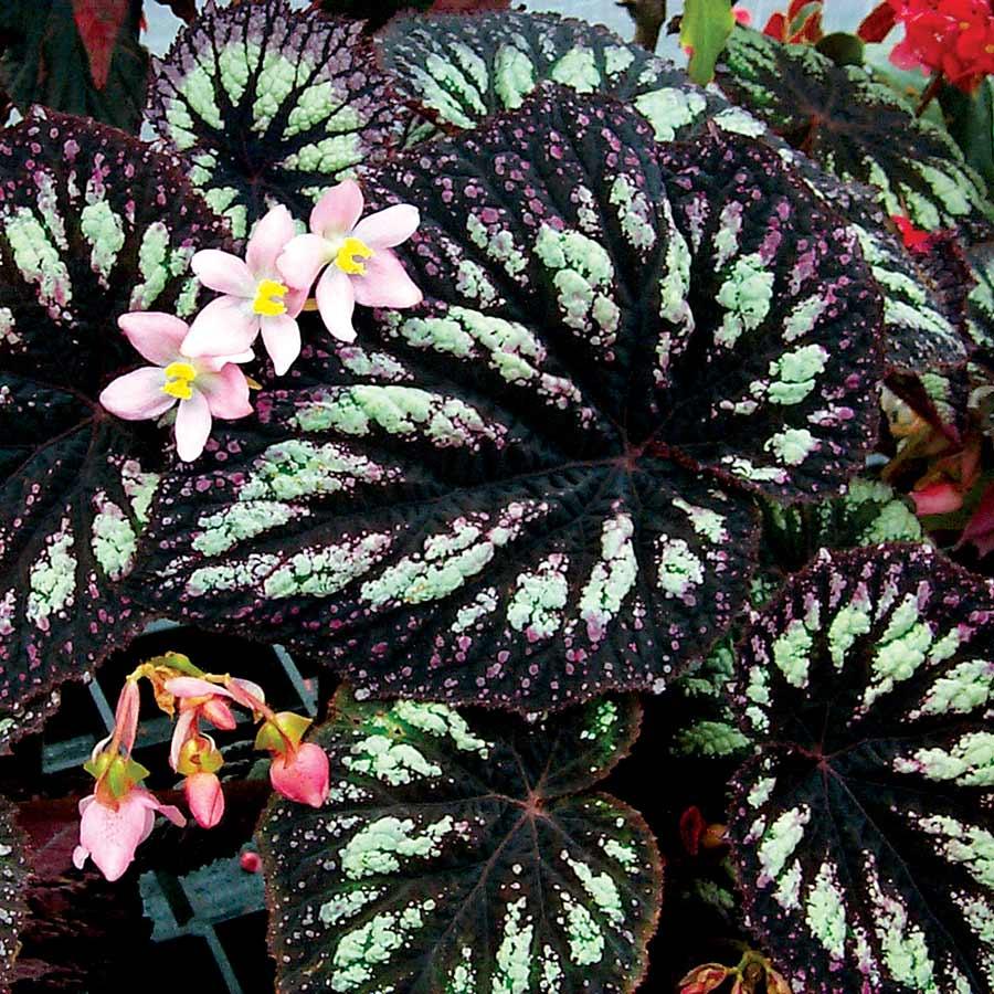 Begonia 'Fireworks'