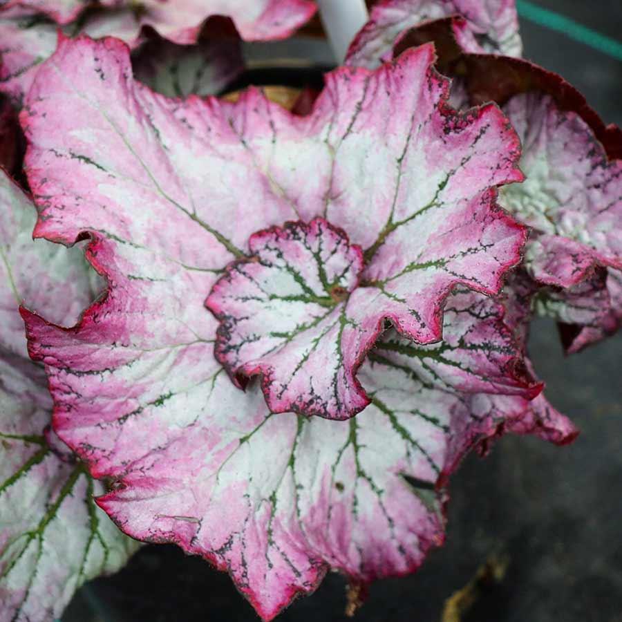 Begonia NAUTILUS™ Lilac