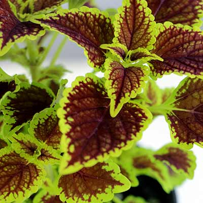 Coleus FLYING CARPET™ 'Fire Mountain'