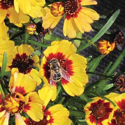 Coreopsis 'Firefly'