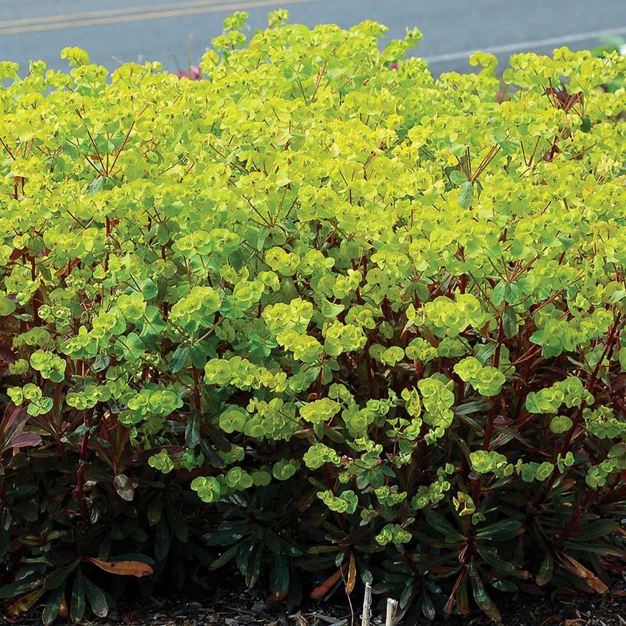 Euphorbia 'Golden Glory'