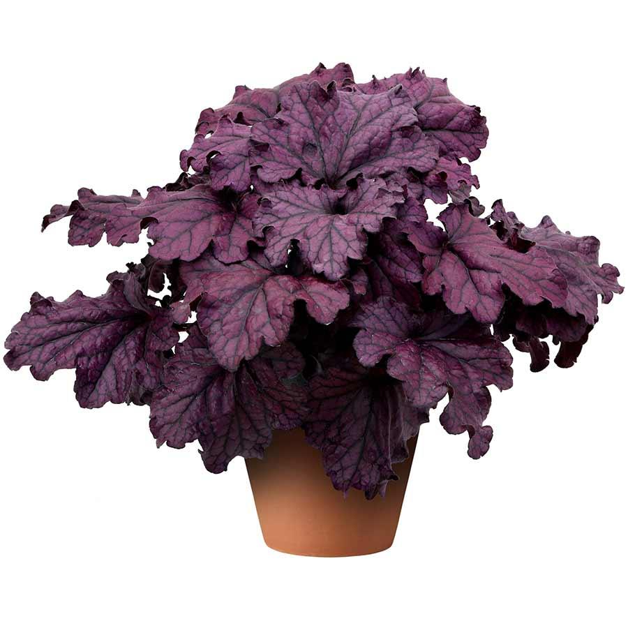 Heuchera FOREVER® Purple