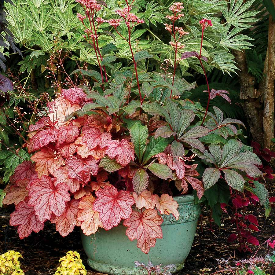 Heuchera 'Georgia Peach'