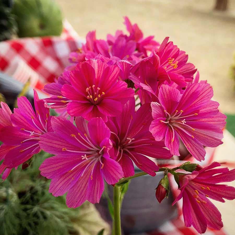 Lewisia CONSTANT™ Fuchsia