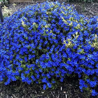 Lithodora Gold 'N Sapphires