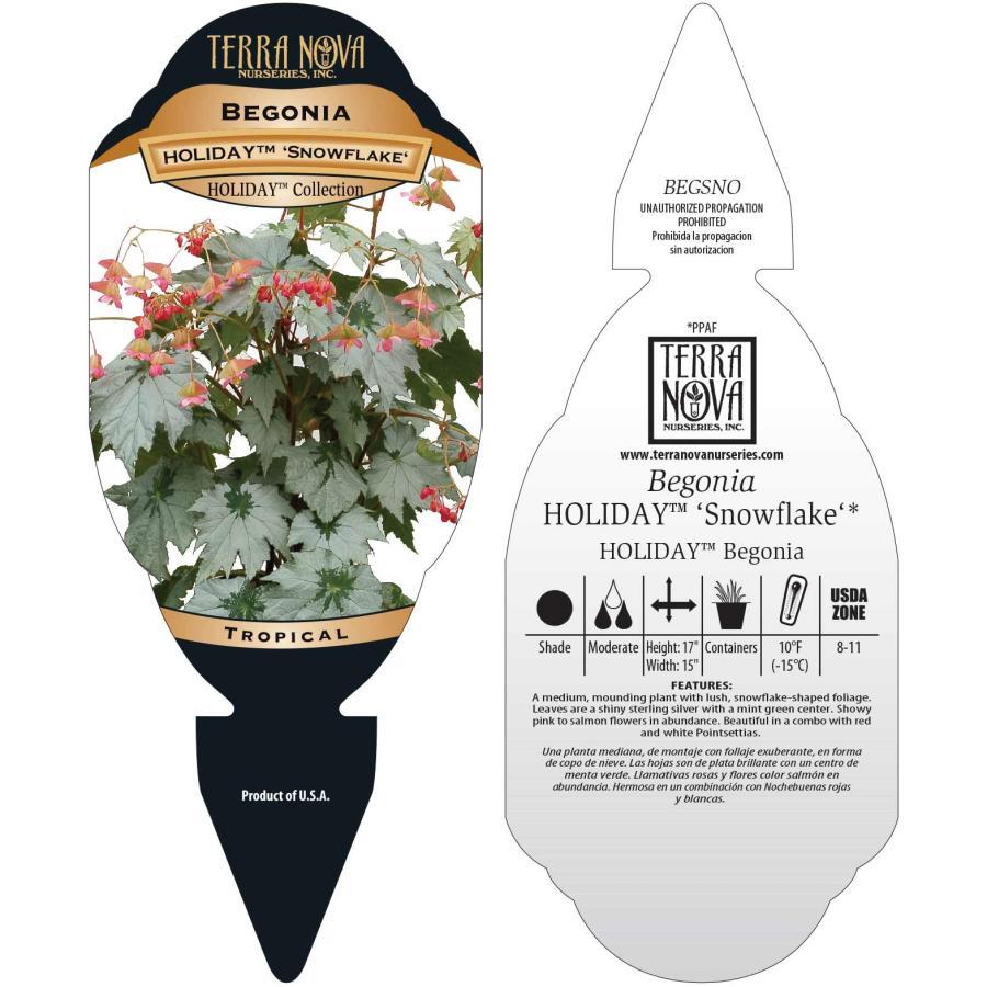 Begonia HOLIDAY™ 'Snowflake'