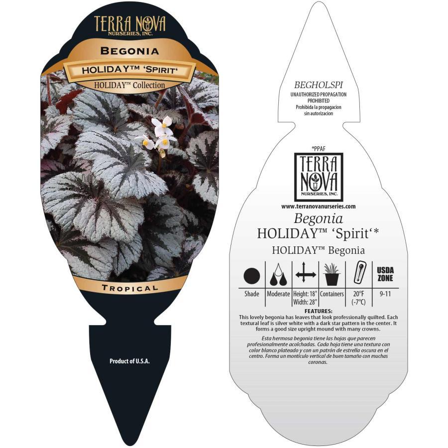 Begonia HOLIDAY™ 'Spirit'