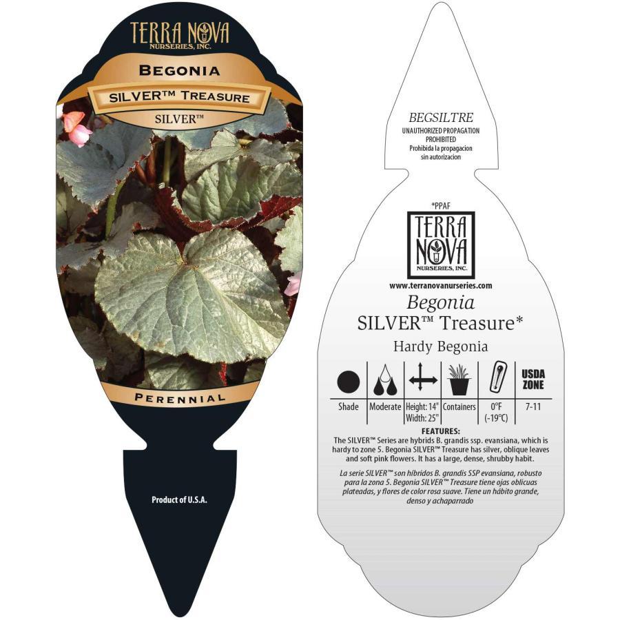 Begonia SILVER™ Treasure