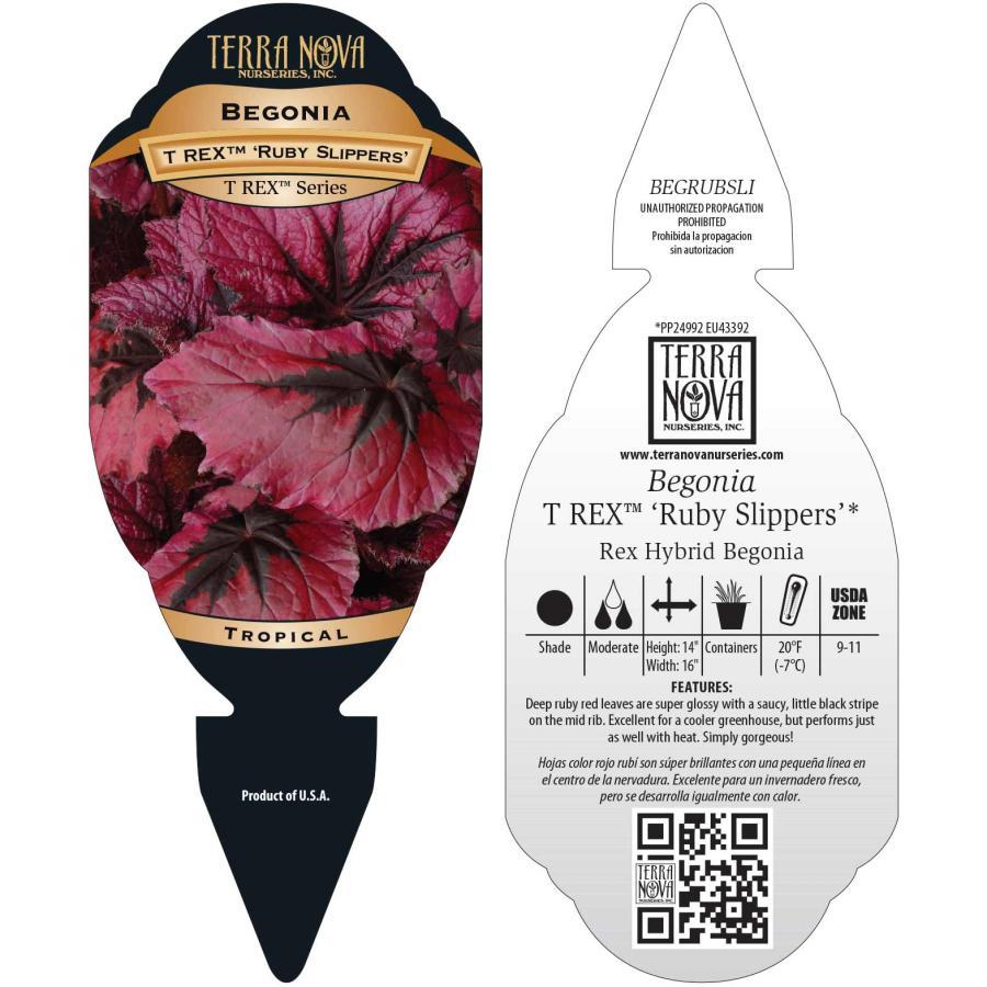 Begonia T REX™ 'Ruby Slippers'