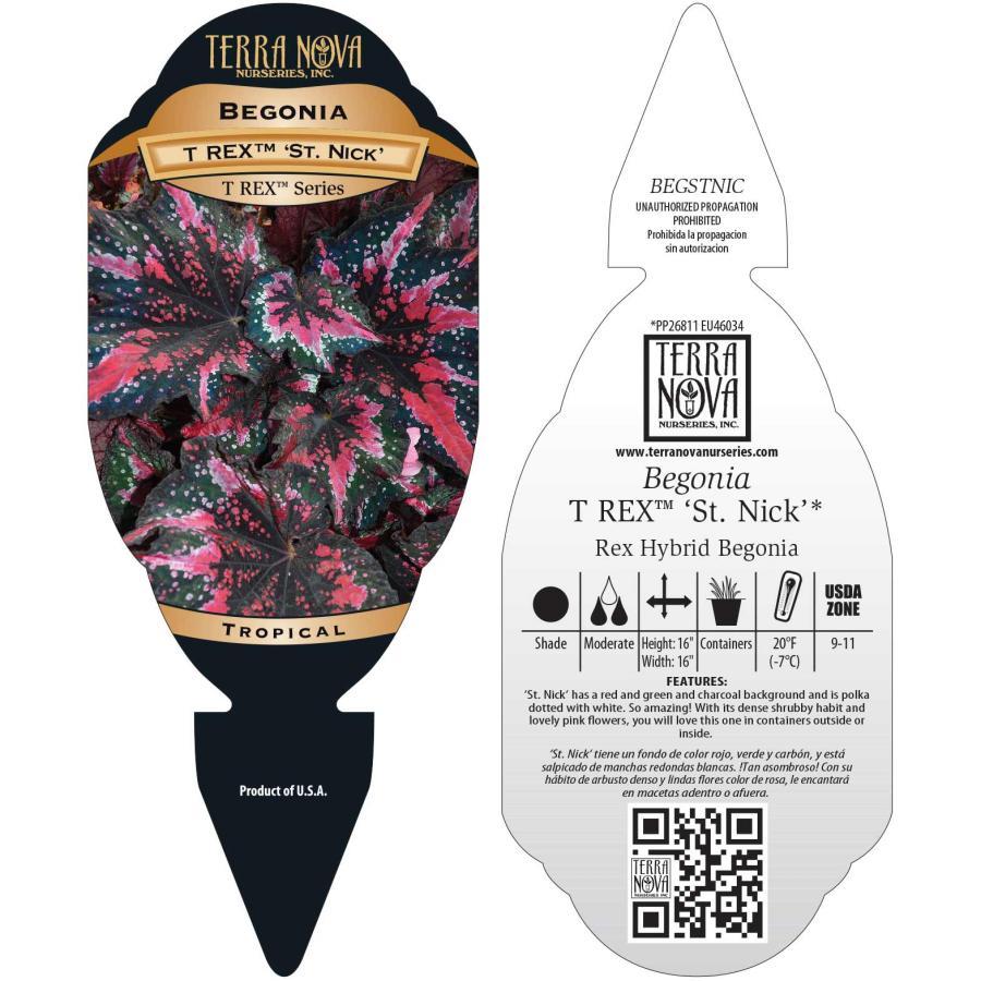 Begonia T REX™ 'St. Nick'