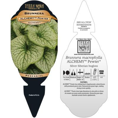 Brunnera ALCHEMY™ Pewter - Tag