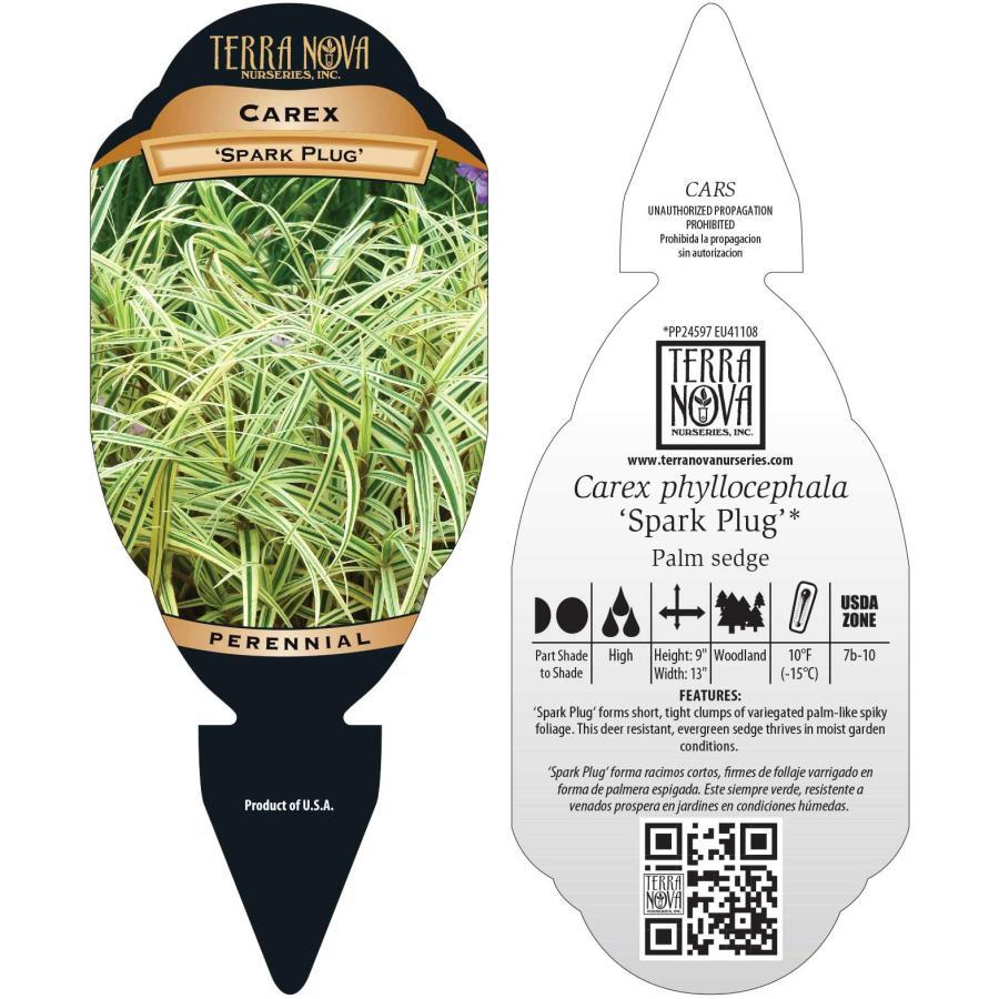 Carex 'Spark Plug'