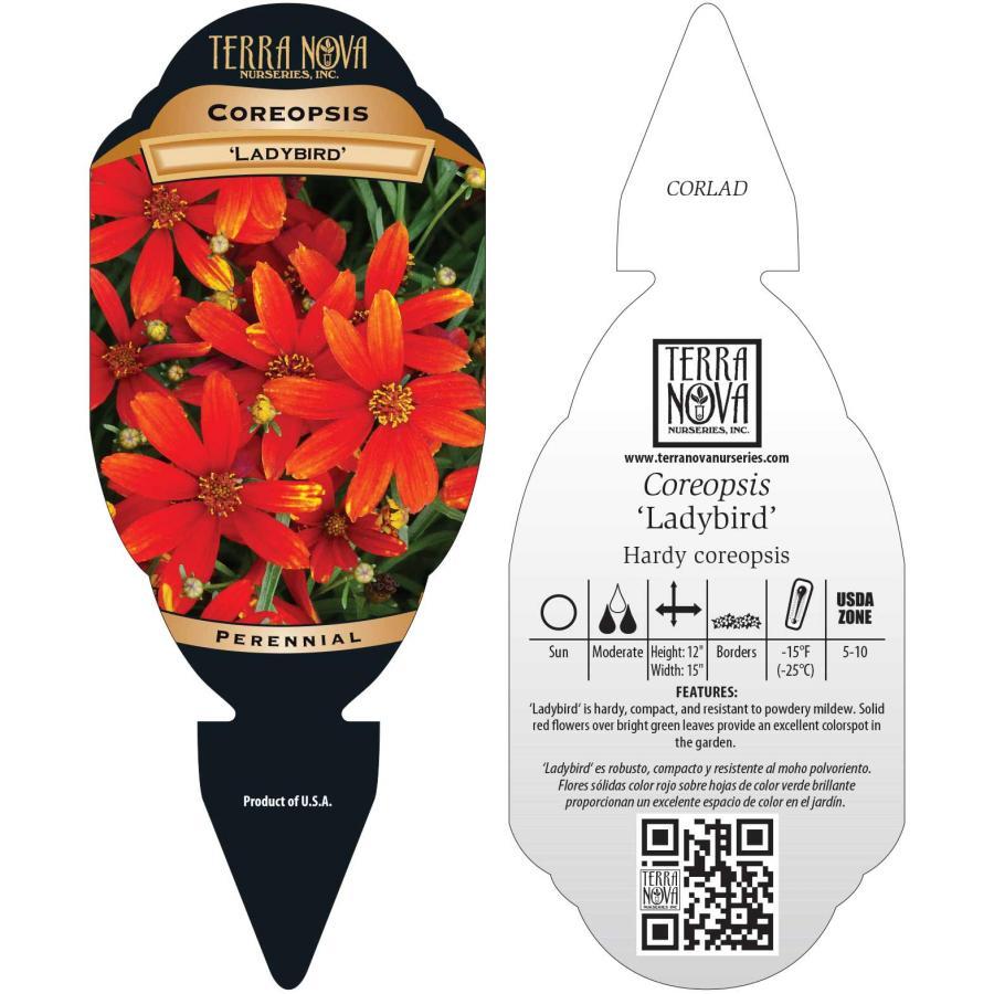 Coreopsis 'Ladybird'