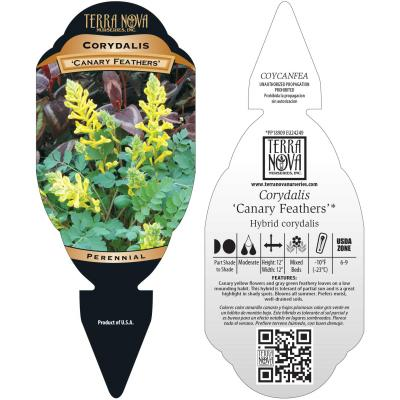 Corydalis 'Canary Feathers' - Tag