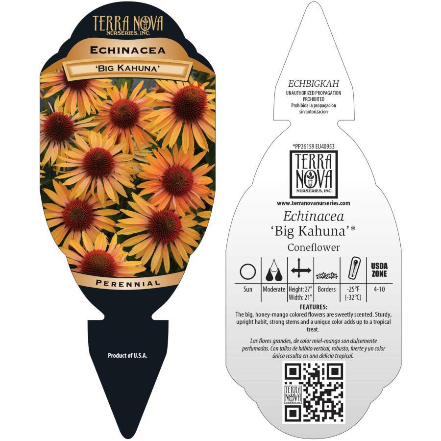 Echinacea 'Big Kahuna'