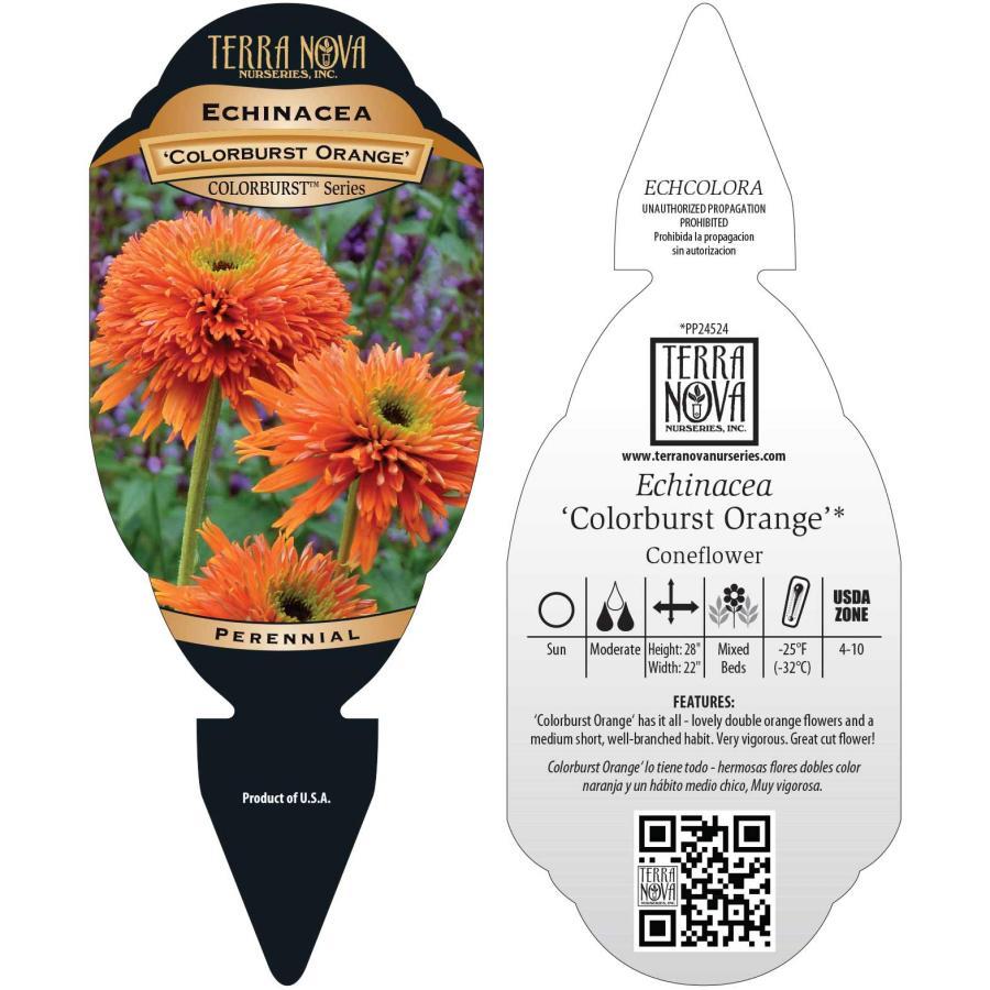 Echinacea 'Colorburst Orange'