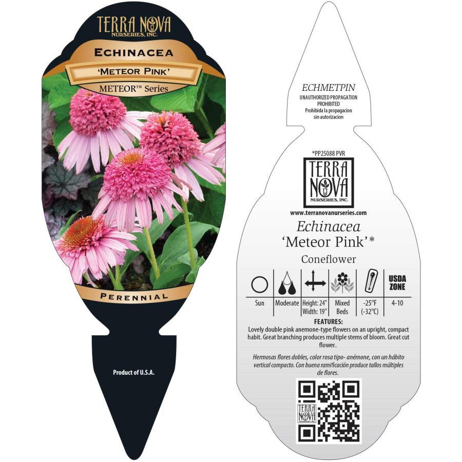 Echinacea 'Meteor Pink'