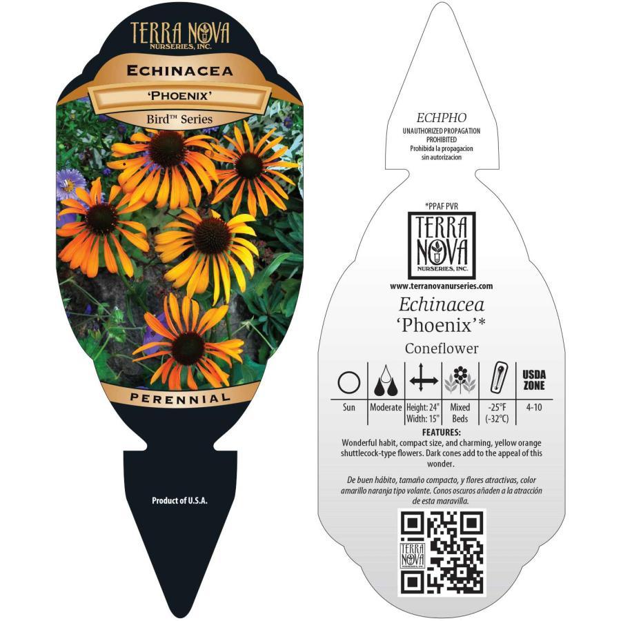 Echinacea 'Phoenix'