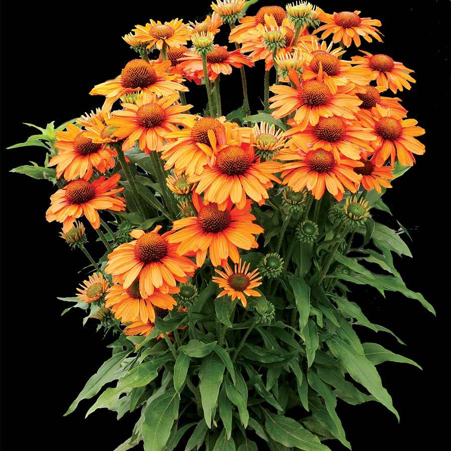 Echinacea PRIMA™ Saffron
