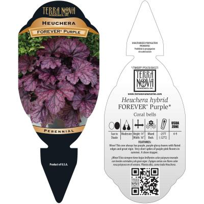 Heuchera FOREVER® Purple - Tag