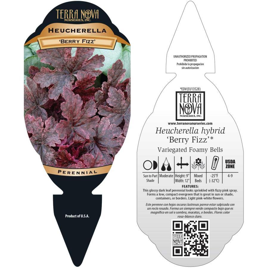 Heucherella 'Berry Fizz'