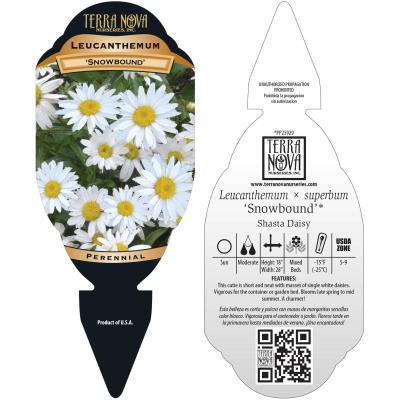 Leucanthemum 'Snowbound' - Tag