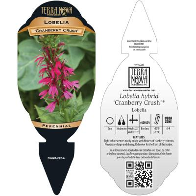 Lobelia 'Cranberry Crush' - Tag