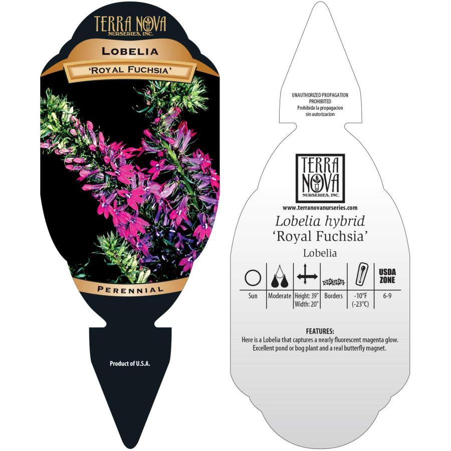 Lobelia 'Royal Fuchsia'