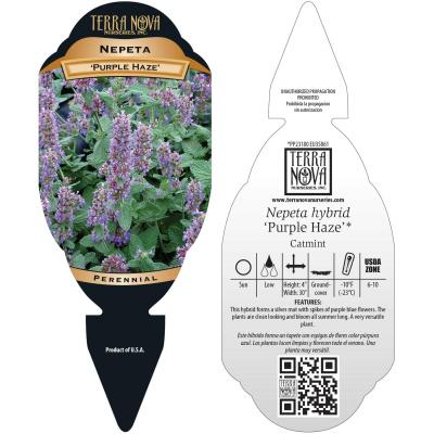 Nepeta 'Purple Haze' - Tag