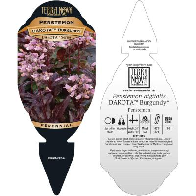 Penstemon DAKOTA™ Burgundy - Tag