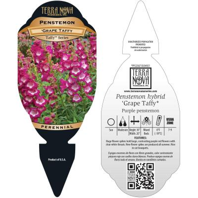 Penstemon 'Grape Taffy' - Tag