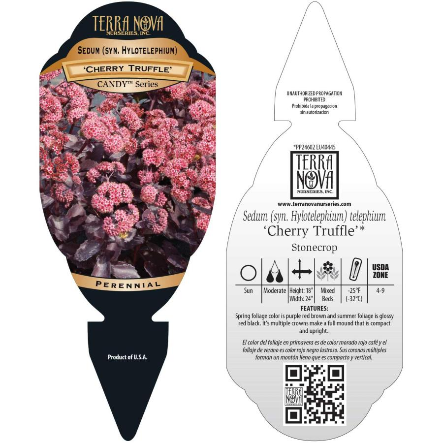 Sedum 'Cherry Truffle'