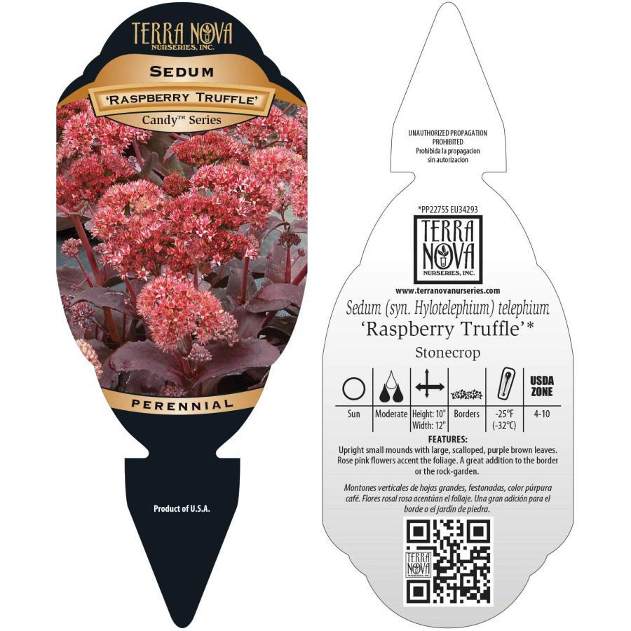 Sedum 'Raspberry Truffle'