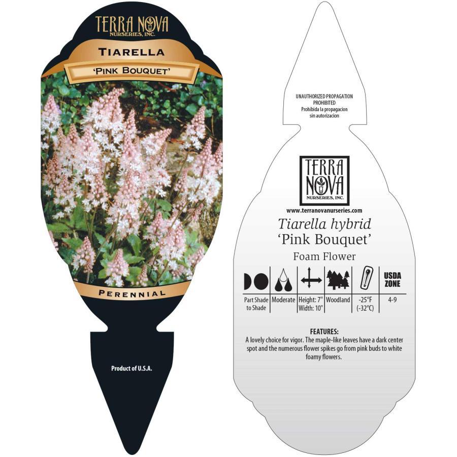 Tiarella 'Pink Bouquet'
