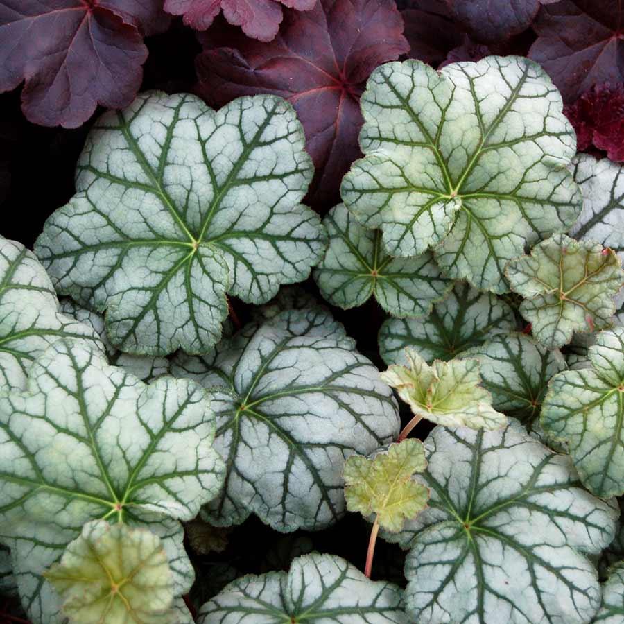 Heuchera 'Mint Frost'