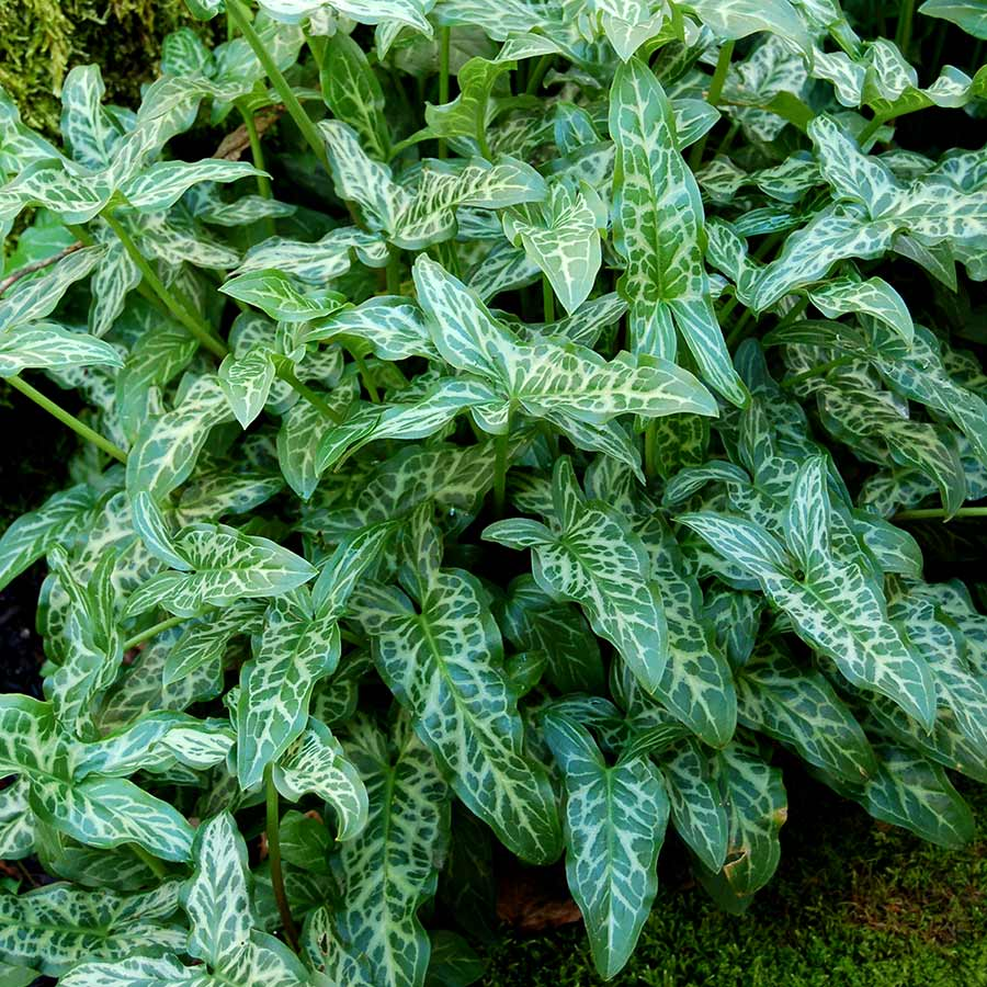 Arum 'White Winter'