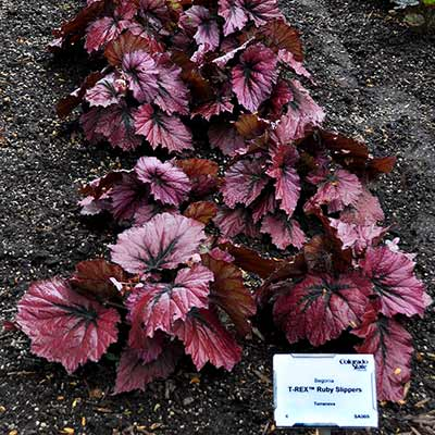Begonia T REX™ 'Ruby Slippers'