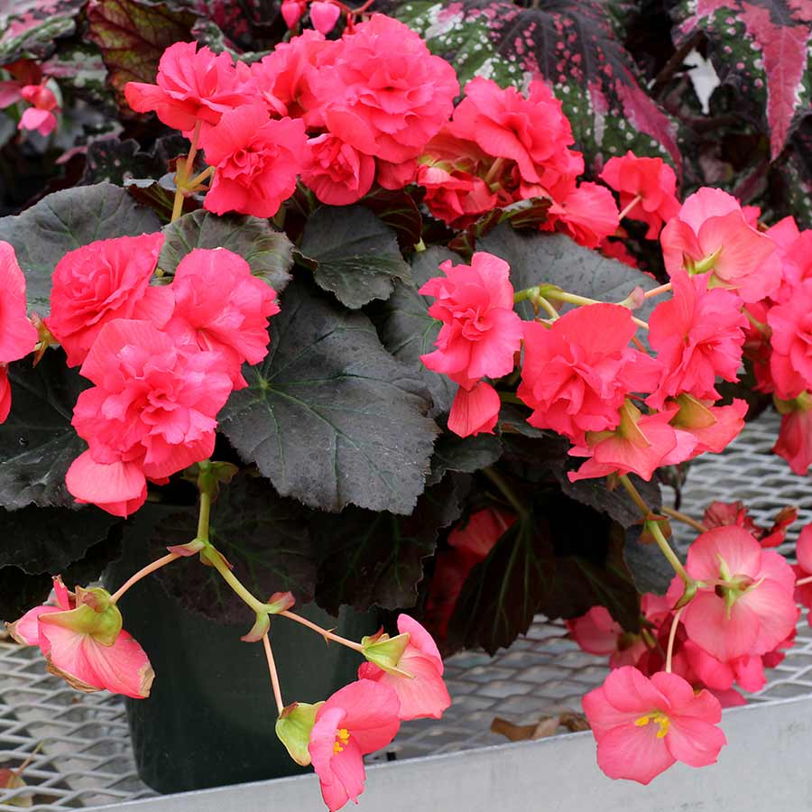 Begonia WILLAMETTE™ Rose