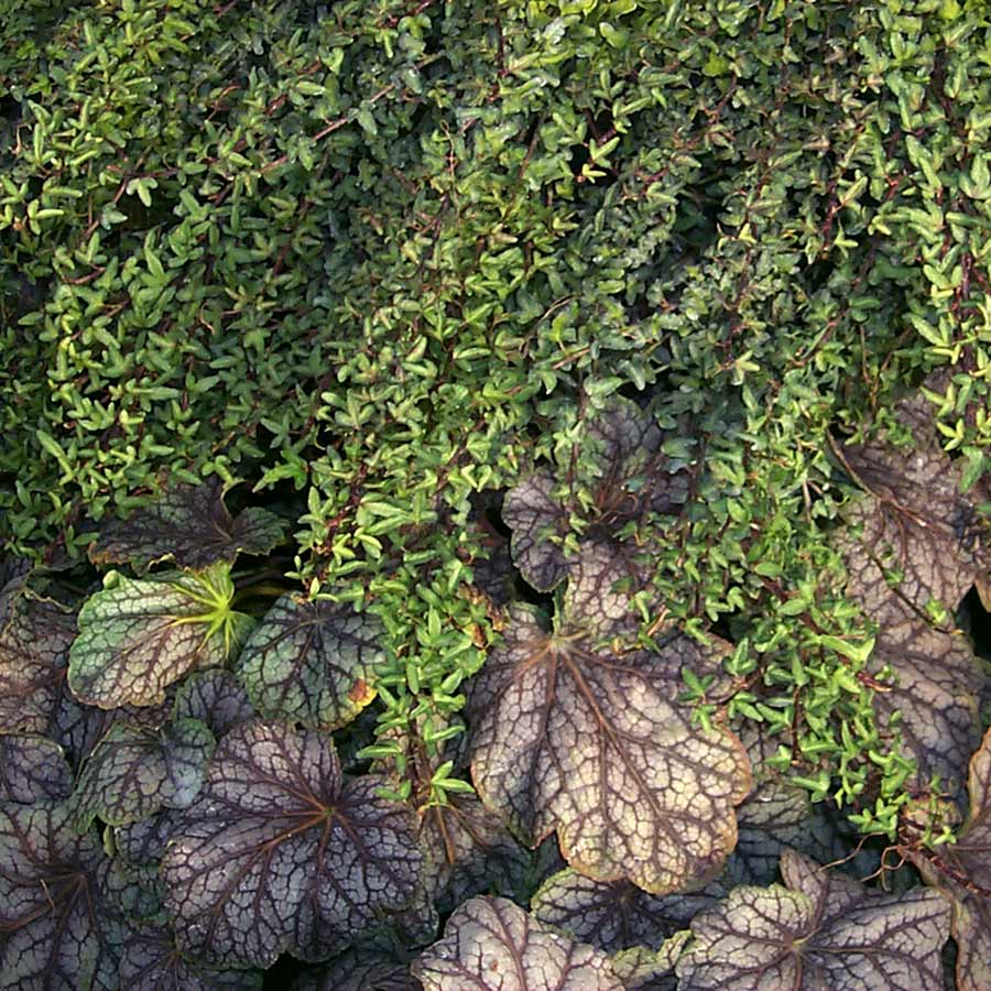 Hedera 'Spetchley'