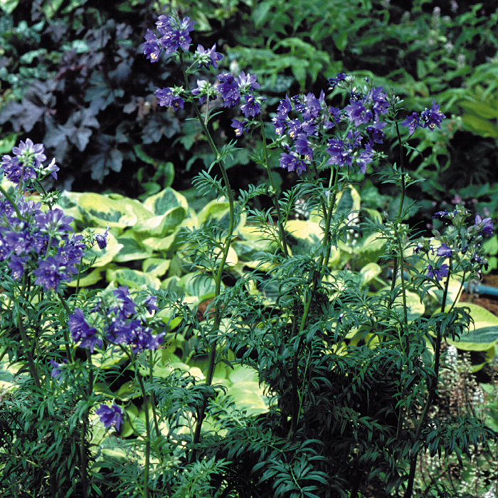 Polemonium 'Lace Towers'
