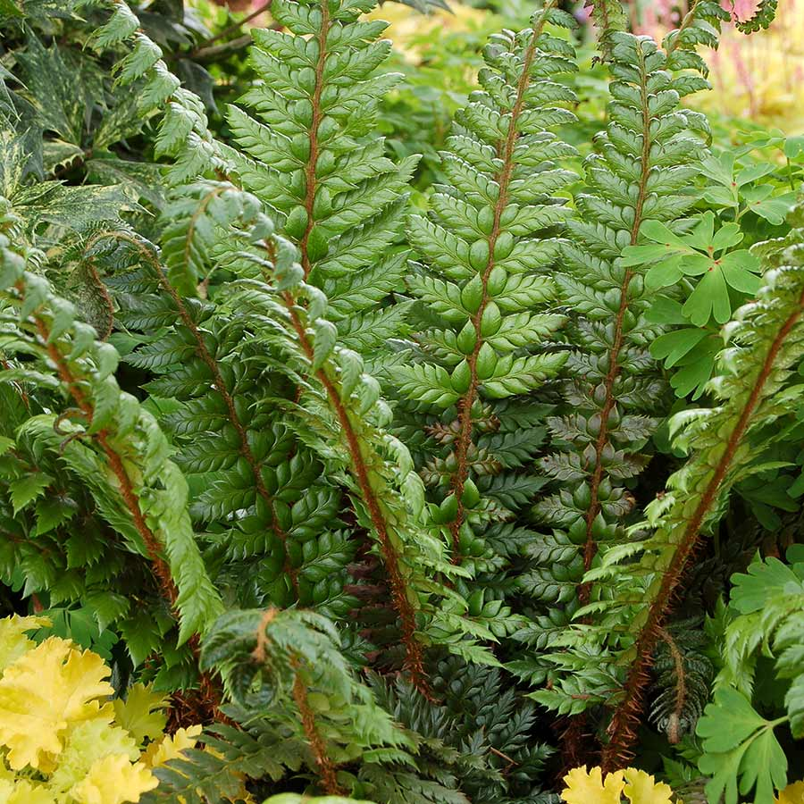 Polystichum 'Shiny Holly'